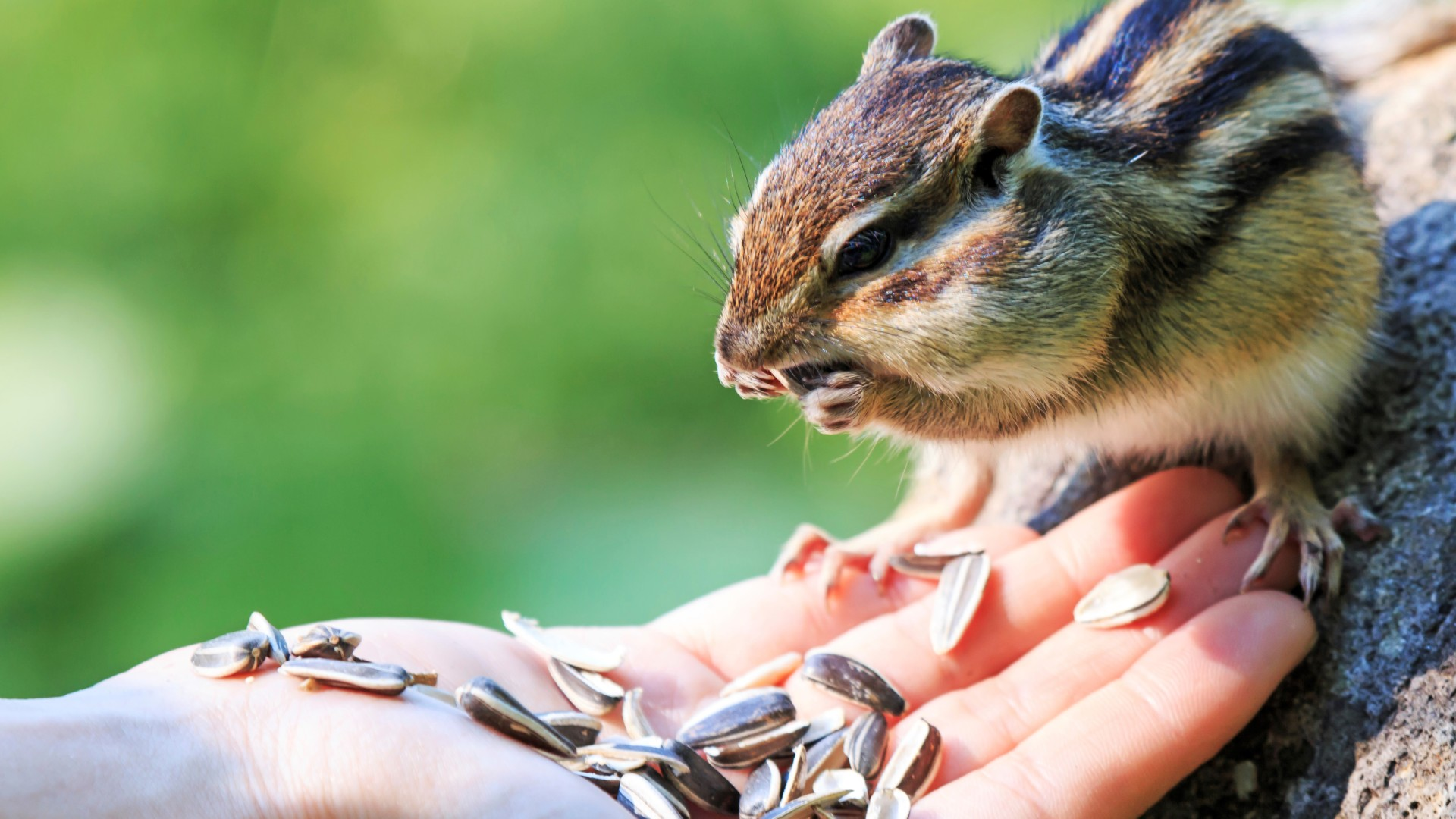 Chipmunk eating food from the palm of a human