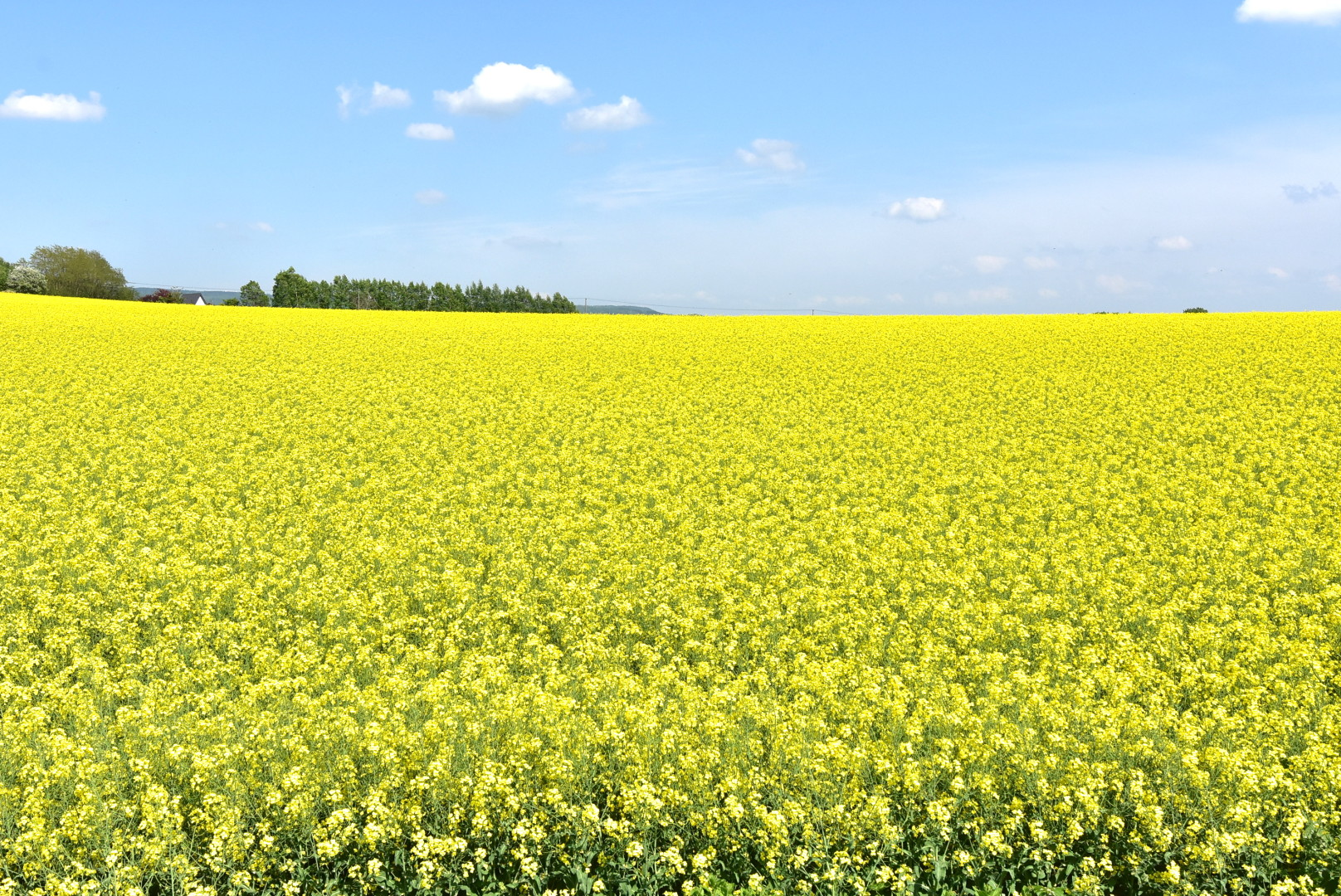 Rapeseed flowers are in full bloom in takikawa hokkaido treasure a city situated between sapporo and asahikawa rapeseed flowers are in full bloom allowing visitors to enjoy a world completely bathed in yellow mightylinksfo