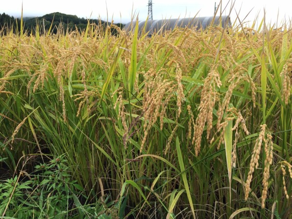 Ponding Mochi with local farmer who grew these rice