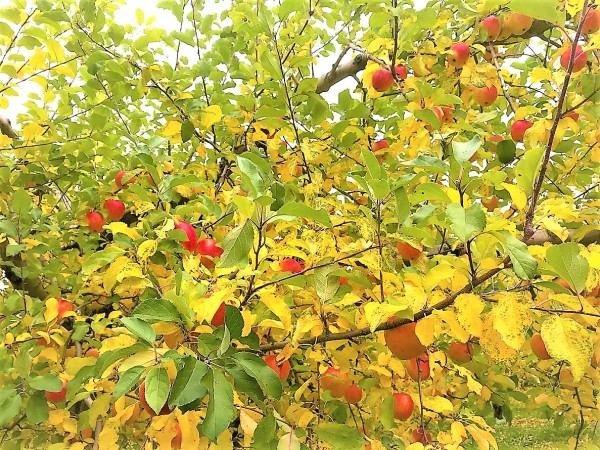 Apple picking with sweet favored memory
