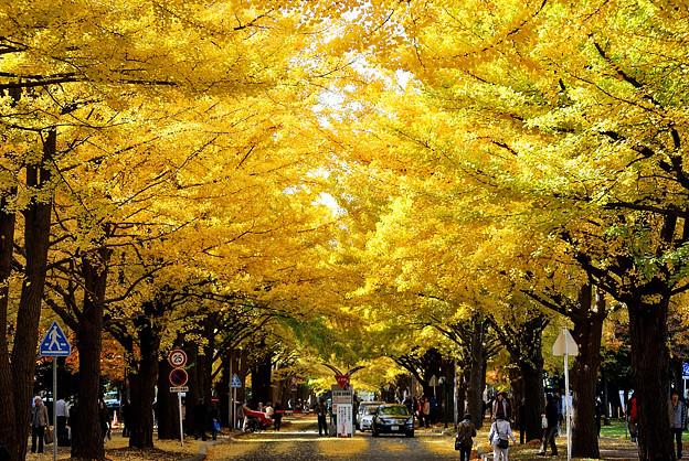 Ginko Tree at Hokkaido Univercity