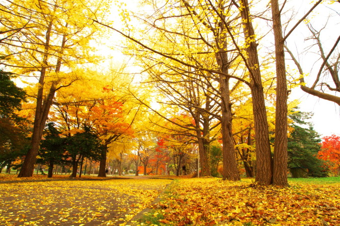 ginko, hokudai, autumn